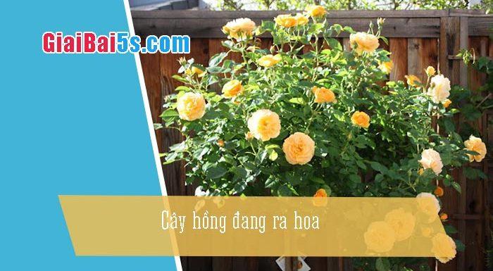 Phần thứ nhất : Văn miêu tả-III. Tả cỏ cây, hoa lá-Bài số 7. Em hãy tả cây hồng đang ra hoa